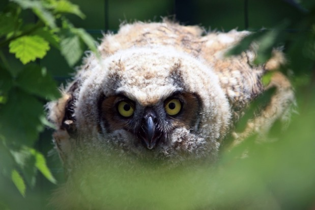 Owl Rescue Follow-Up: Owlie's Progress